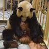 祝!和歌山でジャイアントパンダの赤ちゃん誕生 画像