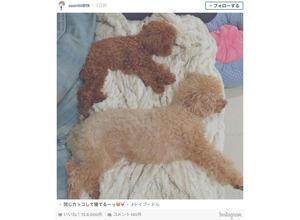 木村沙織、2匹のトイプードルに対して「同じカッコして寝てるーっ」 画像