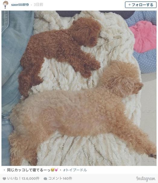 木村沙織、2匹のトイプードルに対して「同じカッコして寝てるーっ」